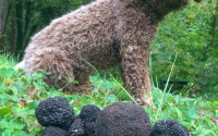 Italy_truffle_hunting_dog_umbria_shutterstock